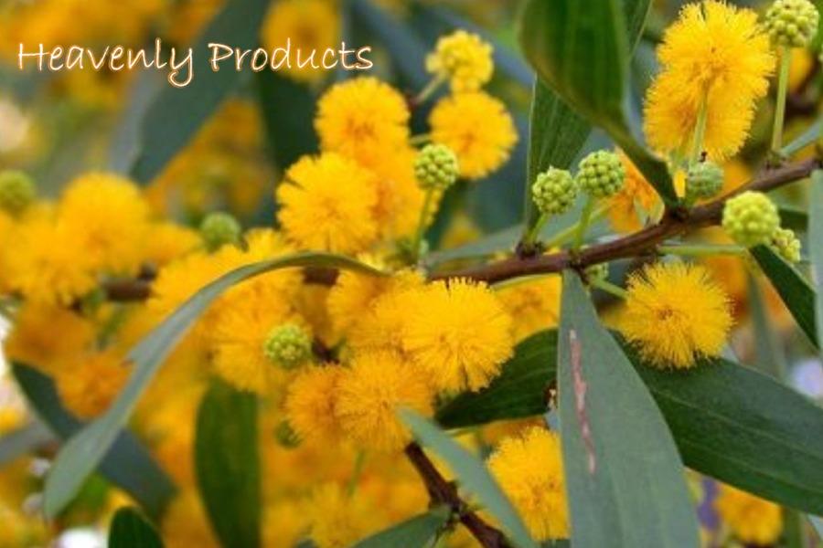 Plants and Seeds - Banisteriopsis Caapi - Psychotria Viridis