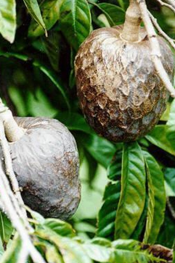 Annona reticulata (Custard Apple) 6 Seeds