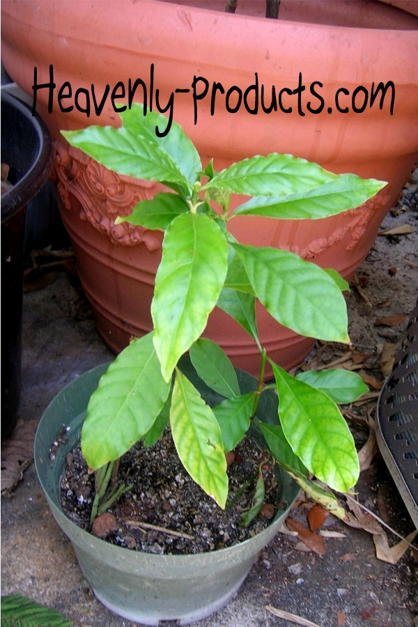 Psychotria Alba Effects Psychotria Alba Well Rooted 3