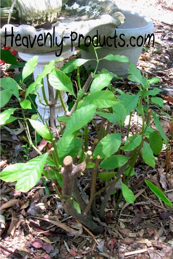Psychotria Alba Effects Psychotria Alba Rooted