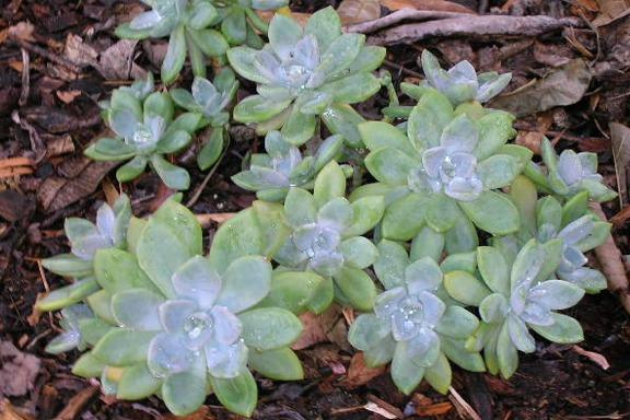 Echeveria Lauii Echeveria Lauii Plant Cutting