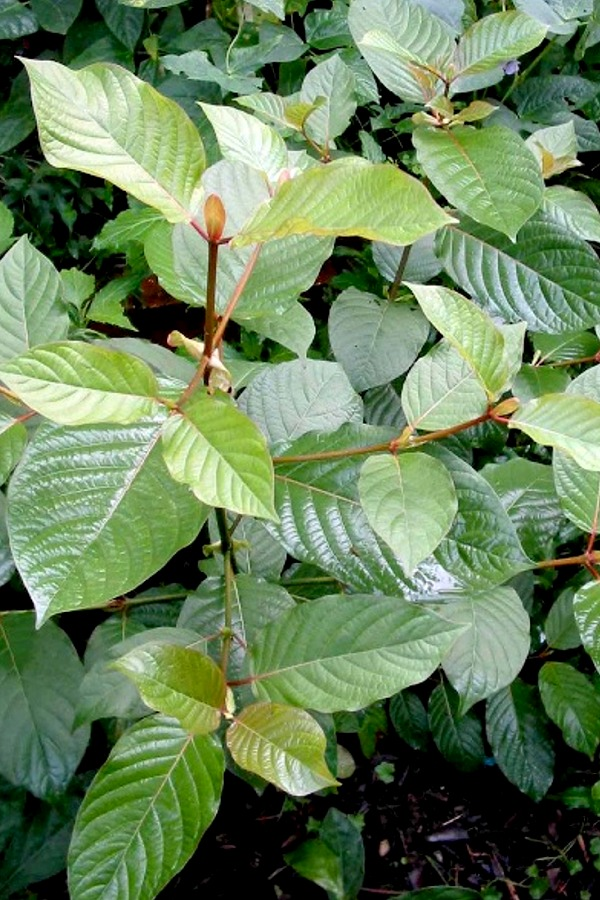 Mitragyna Speciosa- Kratom - Dried Plants - Ethnobotanical