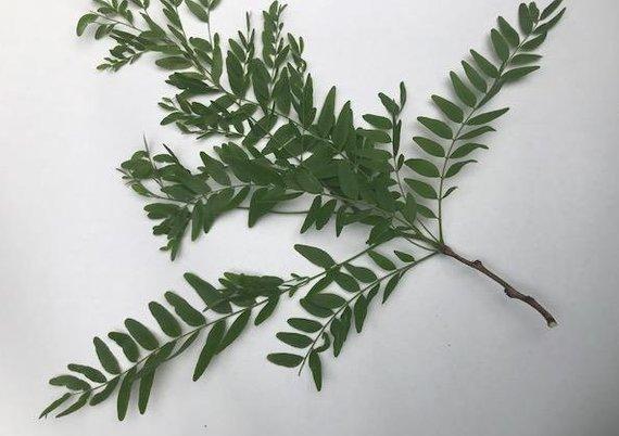 Dried Plants Ethnobotanical Items Banisteriopsis Caapi