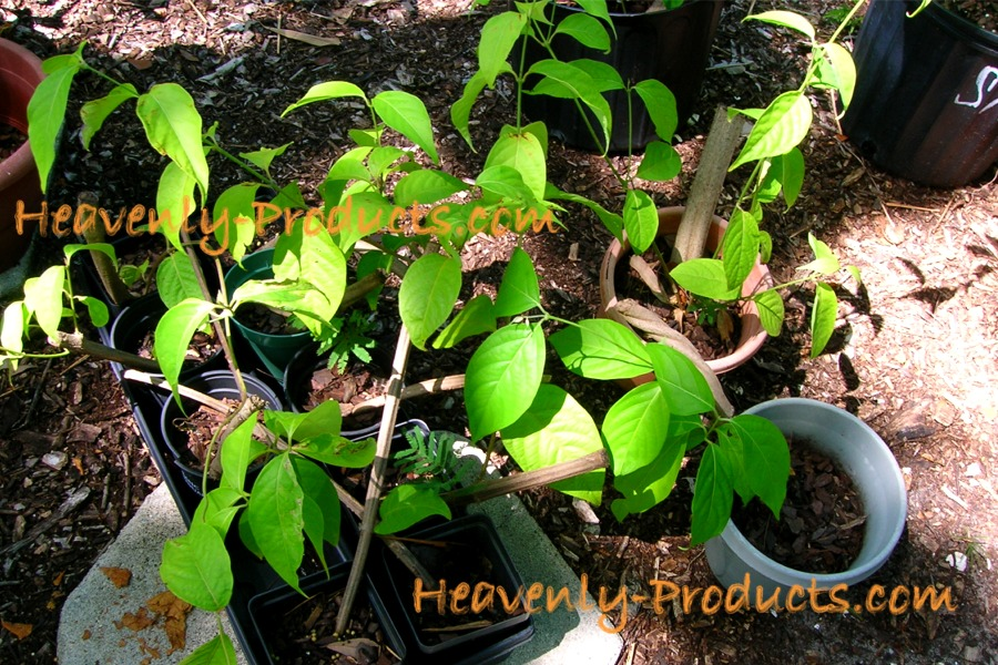 Ethnobotanical Rooted Plants - Plants- Ethnobotanical