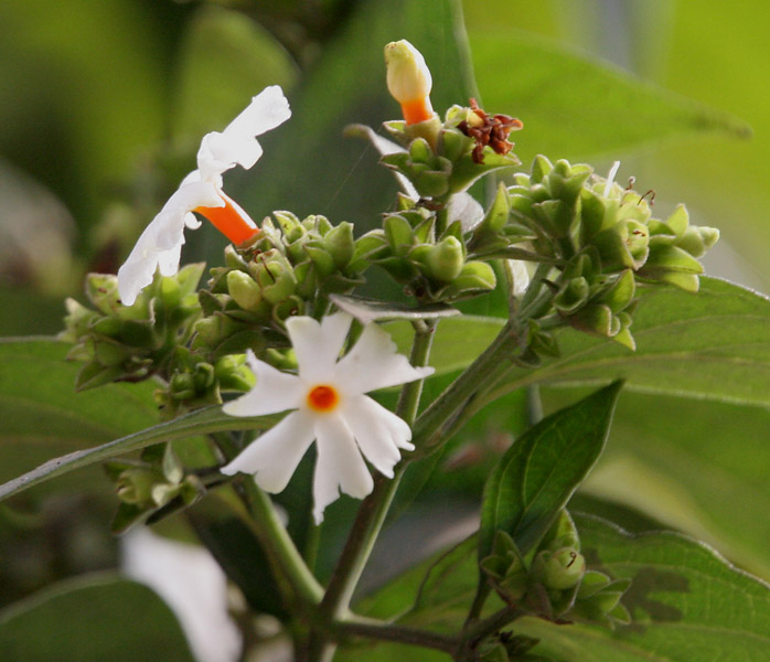 Nyctanthes arbor-tristis- (Night-flowering Jasmine) Cutting
