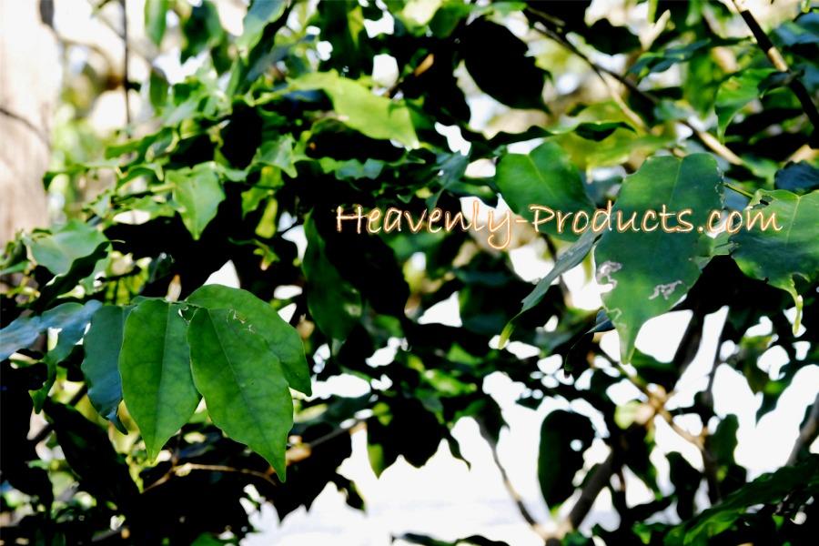 Dried Plants - Ethnobotanical Items - Banisteriopsis Caapi