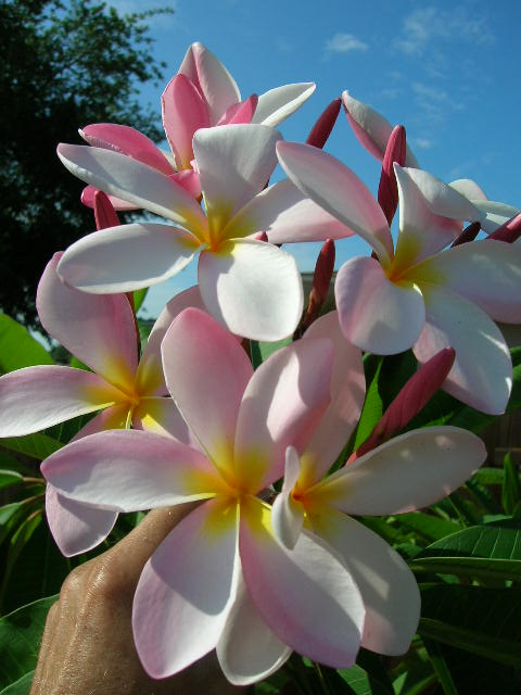 Customer reviews on plumeria rubra pink white yellow flower rooted plumeria rubra pink white yellow flower rooted mightylinksfo