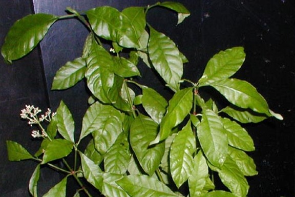 Psychotria alba- Rooted 2' Tall Plant!
