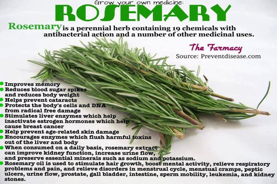 Rosmarinus Officinalis- Rosemary - Herbs - Ethnobotanical