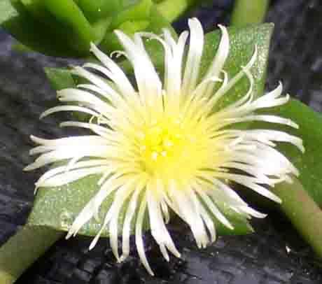 Kanna Powder • Herb Stomp